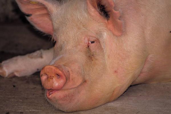 Pig Pen for Christ